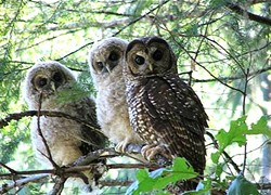 PHOTO COURTESY OF THE U.S. FISH AND WILDLIFE SERVICE - Northern Spotted owls