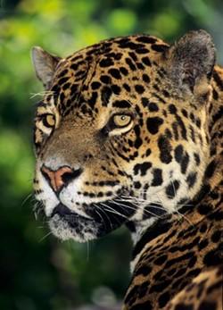51a9fa04_jaguar.jpg