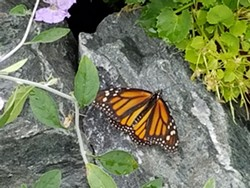 0b1b5418_hbg_butterfly_on_rock.jpg