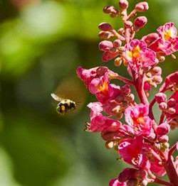PHOTO BY ANTHONY WESTKAMPER - A bumble bee flies to a buckeye.