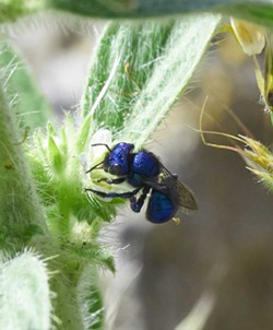 PHOTO BY ANTHONY WESTKAMPER - A blue cuckoo wasp in Oregon.