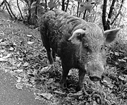 """""""We've never had such a breakfast: heaping cuts of wild pig, some with skin, some with crust-crunchy bones, and a smoky tenderloin chop....""""  Photo courtesy of Flickr user drazz."""