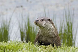 Why Hello, River Otter.