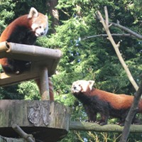 Will There Be Red Panda Sex At the Sequoia Park Zoo Today? Fingers Crossed, Y'all!