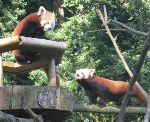 red-panda-sex.jpg