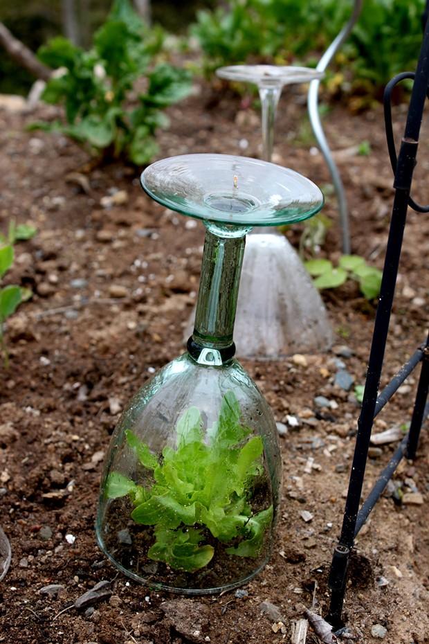 Wine glass mini-greenhouse - PHOTO BY NIKI JABOUR