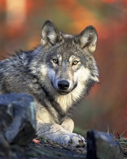 445becb2_full_size_gray_wolf_usfws.jpg