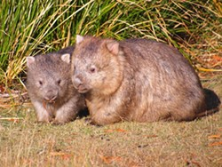 JAMES R. WEBB - Wombats in Tasmania
