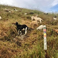 The Goat Girls provide targeted grazing services throughout SLO County