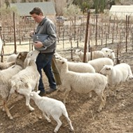 Sheep and llamas provide very efficient services for Central Coast wineries