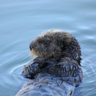 Officials look for information about sea otter killing