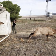 Current repopulation efforts are helping the tule elk population jump by leaps and bounds
