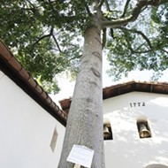 Mission Plaza tree finds new life--in the form of clones