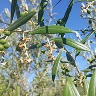 One Templeton grower's journey from city life to olive oil bliss culminates at The Groves on 41