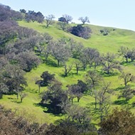 After decades of effort, SLO County is poised to adopt oak woodland protections