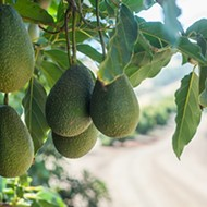 Rolling in the green: Morro Bay's Avocado & Margarita Festival spans soil and sand