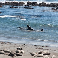 Fresh air: Elephant seals and the volunteer docents who watch over them