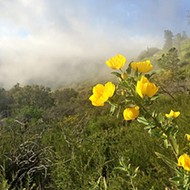 Not quite bloomin': It's a tad early to trip through hillsides full of poppies, but Figueroa Mountain Road is still gorgeous
