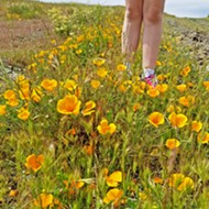Backyard super bloom: We only have to hop our fence to explore SLO's own poppy explosion