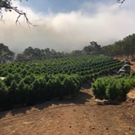 Santa Barbara County Sheriff's Office locates unlicensed grow in Tepusquet