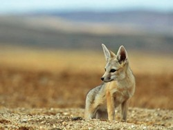 SAVING THE WILD Although the world has lost 60 percent of its wildlife in the past 40 years, conservationists believe that preserving 30 percent of wild lands by 2030 could help remaining species like the San Joaquin kit fox. - FILE PHOTO COURTESY OF CALIFORNIA DEPARTMENT OF FISH AND WILDLIFE