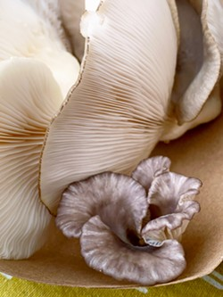 LITTLE GUY Morro Bay Mushrooms' products come in all shapes, sizes, and colors—like this Italian oyster mushroom that's dwarfed by its friends. - PHOTO BY CAMILLIA LANHAM