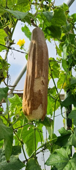 STRAIGHT OFF THE VINE Before drying out and becoming what we know as luffas, the natural sponges start off looking like squash. - PHOTO COURTESY OF THE LUFFA FARM