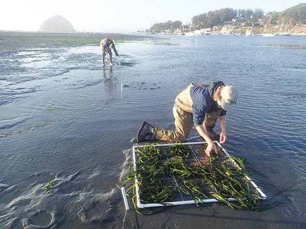 As Morro Bay eelgrass restoration efforts continue, Cal Poly studyfinds correlating changes in fish population