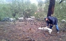 A STARTLING DISCOVERY:  Adam Weissmuller, seen here, recently found numerous sick sheep on the ground near the Heritage Ranch community west of Paso Robles. The animals were part of a herd in the area that went into a canyon during the storm on Feb. 28. There, 25 died. - VIDEO STILL COURTESY OF ADAM AND JENNIFER WEISSMULLER