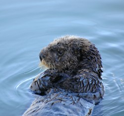 MARINE MYSTERY :  A sea otter, much like this one, was killed near Morro Bay on June 24. Humane groups are offering a reward for information about the incident. - FILE PHOTO