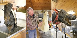 LOOK ALIVE:  A boar hide goes from wet skin to mounted animal in the hands of SLO County taxidermist Don Anderson, who stitches leather around foam forms to turn them into art pieces. - PHOTO BY DYLAN HONEA-BAUMANN