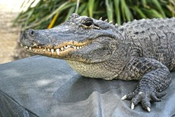 LATER, GATOR!:  Spike is a 6-foot-long, 90-pound American alligator that allegedly used to guard an illegal drug stash. - PHOTO BY GLEN STARKEY