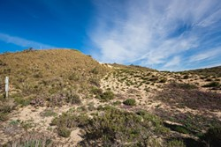 INVASIVE:  Veldt grass (on the hillside to the left) is colonizing open spaces in the dunes, essential places where native plant life can flourish. - PHOTO BY KAORI FUNAHASHI