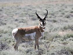 BORN TO RUN :  Evolving to outrun North American cheetahs, the pronghorn antelope of Carrizo Plain have long legs and spring-like back hooves that help them reach speeds of 70 miles an hour. - PHOTO BY BILL BOUTON
