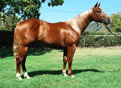 SUE A SCHOOL ABOUT A HORSE :  Starstruck Mate, a sorrel gelding sold at last year's Cal Poly Annual Performance Horse Sale, prompted an unsuccessful small claims lawsuit after the buyer alleged the university wasn't upfront about the animal's background. - PHOTO COURTESY OF CAL POLY EQUINE UNIT