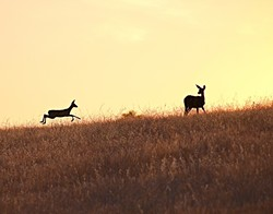 SUMMER FUN:  Deer bounce across a soon-to-be-subdivision in downtown Paso Robles. - PHOTO BY CORAL KESSLER
