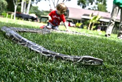 SNAKE IN THE GRASS:  Julius Squeezer, a 100-pound Burmese python slithers around doing snake stuff. - PHOTO BY GLEN STARKEY