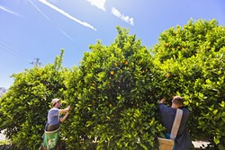 THE FRUITS OF THEIR LABOR:  Agriculture students Max Poswillo and Connor Riggan pick oranges in a grove less than a mile from Cal Poly's bustling campus. Both worry the orchard might one day be razed to make room for housing and parking. - PHOTO BY KAORI FUNAHASHI