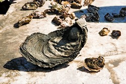 VIVE LA DIFFERENCE :  The larger of these two oysters from the Morro Bay Oyster Company is approximately five years old. - PHOTOS BY STEVE E. MILLER