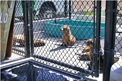 HUNGRY FOR CARE :  California sea lions currently in rehabilitation facilities across the state are emaciated and dehydrated juveniles. - PHOTOS COURTESY OF THE MARINE MAMMAL CENTER