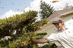 EBT :  Isaac Miller, who responds to 911 emergency calls about bees, captured this swarm (not African, in this case) in a SLO neighborhood. - PHOTO BY STEVE E. MILLER