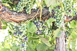 POP OF COLOR:  Malbec grapes at Robert Hall Winery in eastside Paso Robles experienced veraison (a fancy word for ripening) on July 7, which puts their harvest about a week to 10 days ahead of schedule. Across the region, grapes are reaching - peak ripeness earlier, thanks to an overall warmer, drier growing season. - PHOTO BY DON BRADY