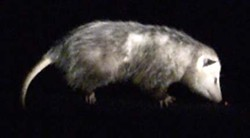 PEANUT BUTTER TIME :  Olive, a Virginia opossum, has a cameo in the faculty exhibit. - PHOTO BY JEFF VAN KLEECK