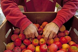 CRUNCHY CHOICE :  Dan Melton picks out apples from a box he purchased that morning from Bellevue Sea Canyon Farms. - PHOTO BY STEVE E. MILLER