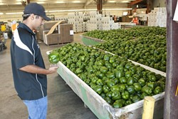 HULK BERRIES :  Robert Meyer, bell pepper supervisor and organic specialist, looks over a sea of green peppers which are ready to be cleaned and packed. - PHOTO BY STEVE E. MILLER