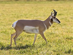 HOME ON THE RANGE :  Pronghorn antelope, the fastest land animals in the New World, have lived on such open plains as the Carrizo for hundreds of millenia. - PHOTO BY BILL BOUTON