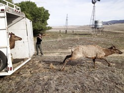 FREE TO ROAM:  Two young tule elk bulls emerge from a trailer on the Carrizo Plain Ecological Reserve in SLO County, where 12 elk were realeased as part of a larger repopulation effort. - PHOTO COURTESY OF CALIFORNIA DEPARTMENT OF FISH AND WILDLIFE