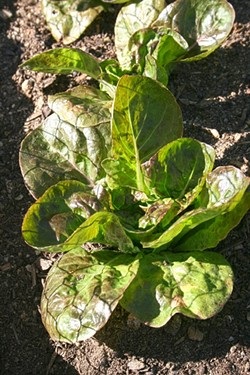 GREENERY:  Crisp red leaf lettuce is ready for picking at JUSTIN Vineyards & Winery in Paso Robles thanks to Annette Pollock's green thumb. - PHOTO BY HAYLEY THOMAS