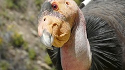 """WHO'S THERE?:  """"[Condors are] hilarious, the way they're always interacting with each other,"""" condor recovery program supervisor Joseph Brandt said. """"People say they're kind of ghoulish looking, but their personality wines you over."""" - PHOTO COURTESY OF U.S. FISH AND WILDLIFE SERVICE"""