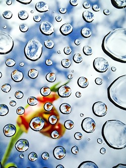A DROP IN THE PHOTOBUCKET :  Raining Tulips, by Cat Evans, took first place, continuing the water theme. - PHOTO BY CAT EVANS